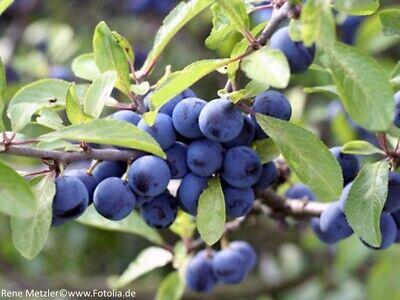 Schlehe Prunus spinosa Frühlingsblüher Wildobst Fruchtgehölz 40-60cm