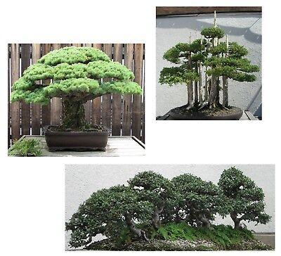 Bonsai Semi I! Ginepro/rastrello/pino! I Stanza Sementi Piante Balcone Exot-mostra Il Titolo Originale