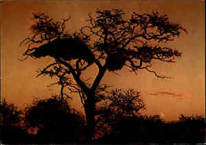 NAMIBIA-Suedwestafrika-Postkarte-Sunset-Birds-Nest-Baum-Tree-Sonnenuntergang-AK
