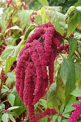 500 LOVE LIES BLEEDING AMARANTHUS Caudatus Flower Seeds