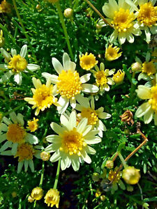 Argyranthemum-lemon-yellow-Daisy-in-50mm-forestry-tubes-perennial-plant