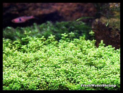 Live Aquarium Plants / Hemianthus Callitrichoides Cuba / HC Cuba