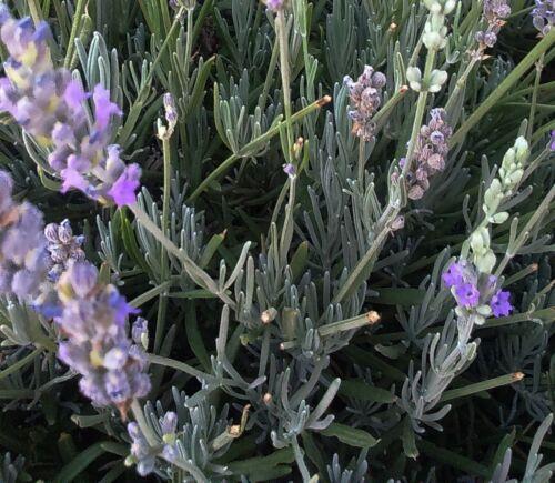Lavandula lanata or Woolly Lavender 20 seeds FREE SHIP