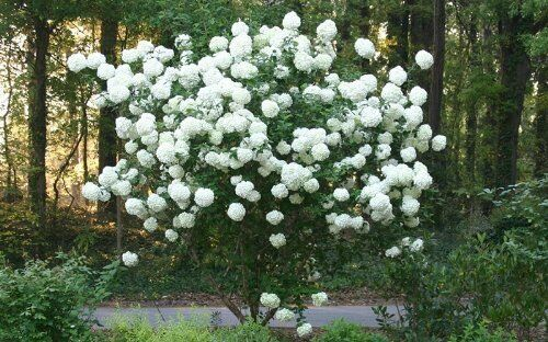 Snowball Viburnum No California Live Plants Shipped Over 1 Foot Tall by DAS Farms