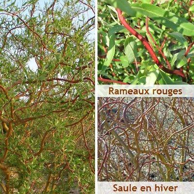 Salix tortuosa 'Orange' - Saule tortueux de Pekin