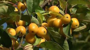 flowering crab trees 6-7ft tall now COLLECTION ONLY MALUS GOLDEN HORNET