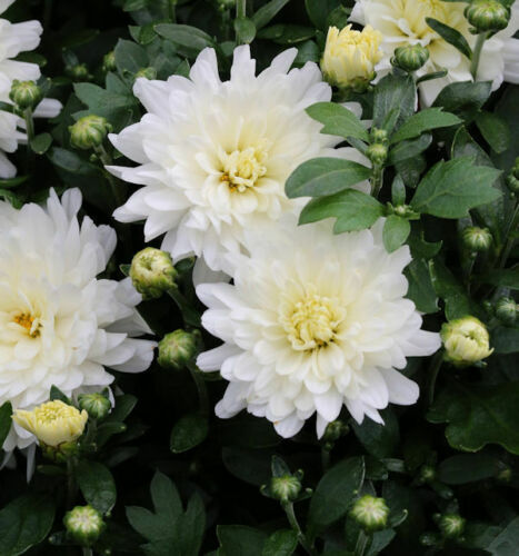 Inverno Aster Havel CIGNO-Chrysanthemum Hortorum