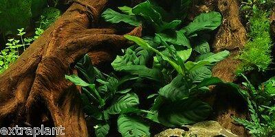 Anubias barteri 'Coffeefolia' - Live Aquarium Freshwater Plants Java Moss Fern