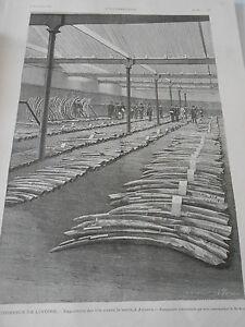 Gravure 1896 Le Commerce Des éléphants Expostion Des Lots à Anvers BéNéFique à La Moelle Essentielle