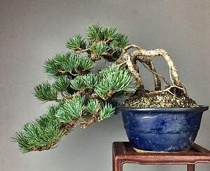 bonsai japanische m dchenkiefer goyomatsu pinus parviflora pentaphylla top ebay. Black Bedroom Furniture Sets. Home Design Ideas
