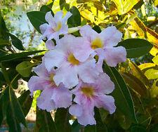 Tabebuia heterophylla PINK TRUMPET TREE, Fast Growing & Long Blooming ~SEEDS~