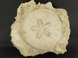Fossil-Echinoid-Scutella-Faluns-de-Touraine-France-EA6520-Miocene