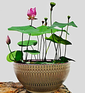 Logique Nelumbo Nucifera Graines, Chinois Mini Lotus Fleur, Bowl Lotus, Bol Lotus-afficher Le Titre D'origine Les Produits Sont Disponibles Sans Restriction