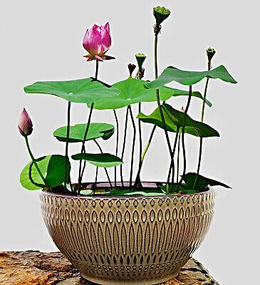 Nelumbo Nucifera Semi, Mini Cinese Fiore Di Loto, Lotus Bowl, Insalatiera Lotus-