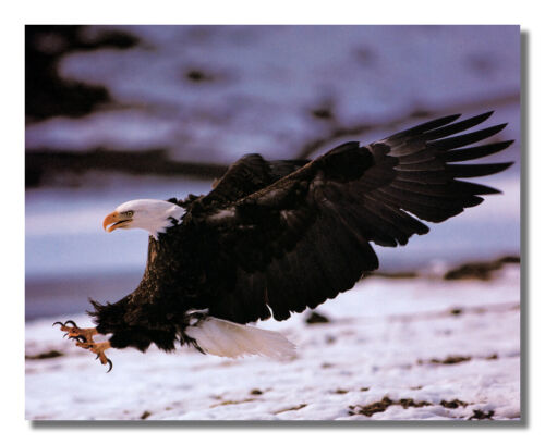 American Bald Eagle Bird Wings Claws Open in Snow Wall Picture 8x10 Art Print