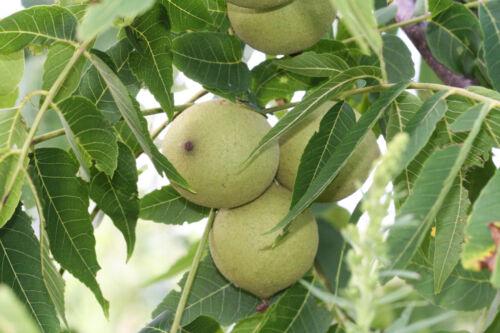 Schwarznussbaum Juglans nigra Pflanze 40cm Walnuß Nussbaum Rarität selten