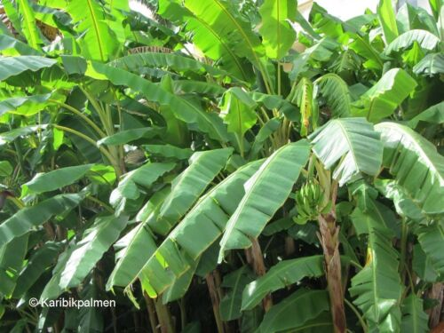 Zwerg-Faserbanane winterharte Pflanze  60-100cm Stamm Musa basjoo /'Sakhalin/'