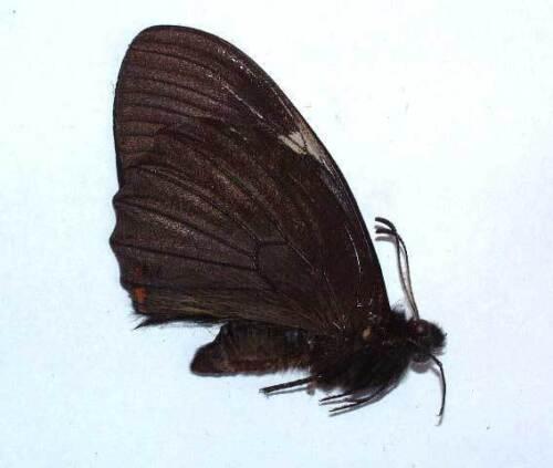 PAPILIO EUTERPINUS unmounted butterfly