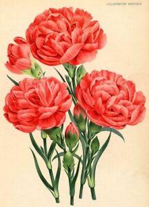 Oeillet-Mademoiselle-Else-de-Bleichroder-Botanique-Decoration-Lithographie