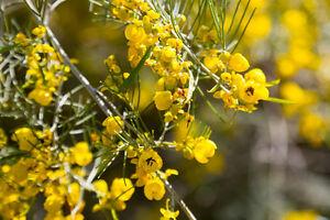 Busch Mit Gelben Blüten : der senna busch wird ihren garten mit vielen gelben bl ten verzaubern ebay ~ Frokenaadalensverden.com Haus und Dekorationen