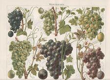 WEINTRAUBEN Wein Sylvaner Burgunder LITHOGRAPHIE von 1905 Weinsorten Damaszener