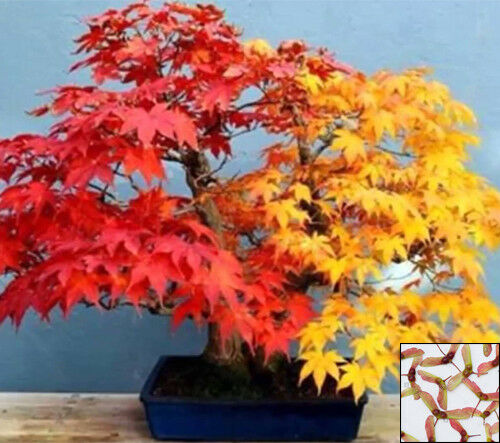 Red Japanese Maple 15 Seeds Chinese Wisteria 2 Seeds Bonsai Acer For Sale Online Ebay