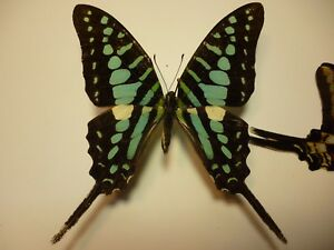 Real Butterflies/Insects non setB3344 Bright Blue African Graphium policenes 7cm