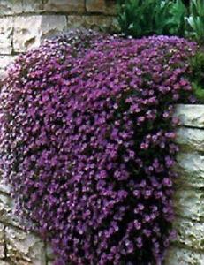 Rock-Cress-Seeds-Cascading-Purple-100-Aubrieta-Seeds-PERENNIAL
