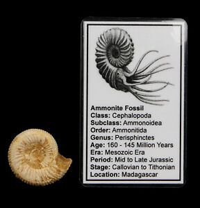 White-Ammonite-Fossil-35mm-with-Info-Card-Natural-Perisphinctes