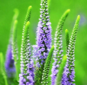 Spike-Speedwell-Seeds-50-Seeds-Veronica-Didyma-Tenore-Flower-Garden-Seeds-A049