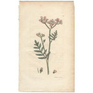 Sowerby-antique-1st-ed-1794-hand-colored-engraving-Pl-198-Broad-leaved-Caucali