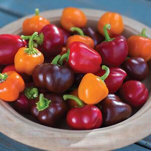 20 Sweet Pepper Seeds ELEPHANT/'S EAR Heirloom Organic Vegetable