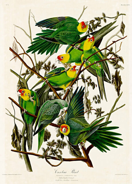 Carolina Parrot by John Audubon A2+ High Quality Art Print