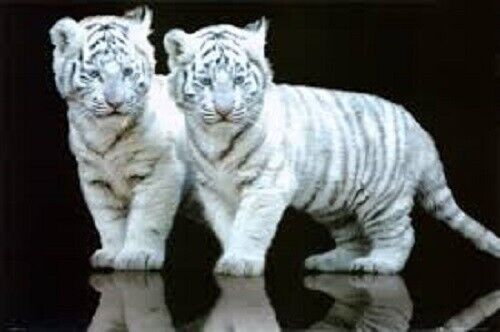 Poster White Tiger Cubs