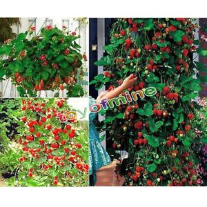 rot 100pcs erdbeere kletternde erdbeere frucht. Black Bedroom Furniture Sets. Home Design Ideas