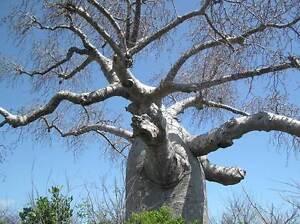 ADANSONIA-MADAGASCARIENSIS-4-Semillas-Baobab-de-Madagascar-Raras-Arbol