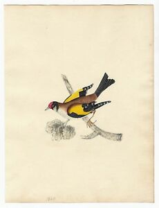 Antique-NATURAL-HISTORY-Bird-ORIGINAL-NATURALIST-WATERCOLOR-PAINTING-Ornithology