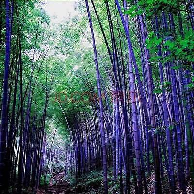 RARE Purple Bamboo, Timor Bambusa Lako - 100 Viable Seeds Fresh Giant plant