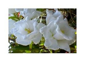 50 campanula white double canterbury bells perennial flower seeds image is loading 50 campanula white double canterbury bells perennial flower mightylinksfo
