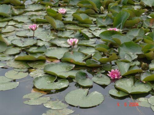 Rote Seerose  für 40 bis 130 cm Wasserstand