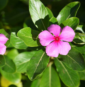 Madagascar-Periwinkle-Seed-20-Seeds-Catharanthus-Roseus-Flower-Garden-Seeds-A110