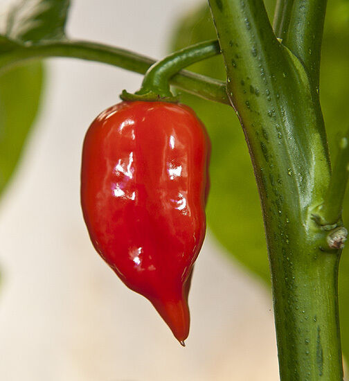 VEGETABLE  HOT CHILLI PEPPER HABANERO MAYA RED  100 SEEDS  VERY HOT