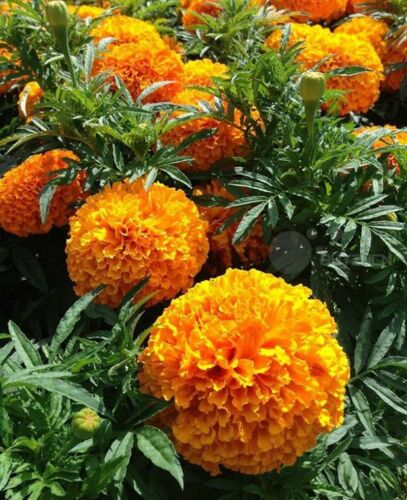 ORANGE AFRICAN MARIGOLD CRACKER JACK 50 SEEDS Perennial Flower seed