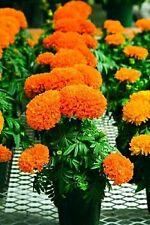Rare Small Marigold seeds Novel plant Potted Garden Marigold 20 Seeds