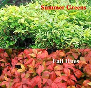 Image Is Loading Fire Nandina Domestica Dwarf Heavenly Bamboo Colour Changing
