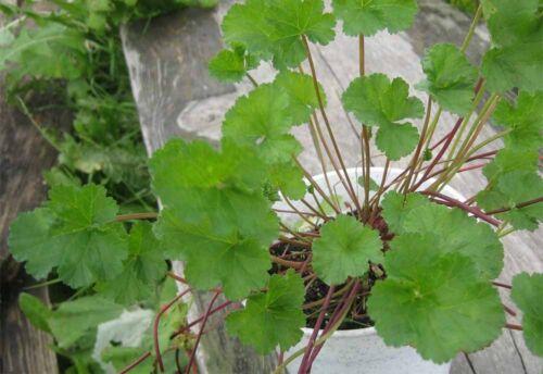Pelargonium grossularioides seeds Extremely Fragrant Coconut-Scented Geranium