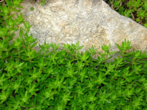 Great Groundcover to Keep Weeds Out 50 Plants Gold Moss Stonecrop Ground Cover