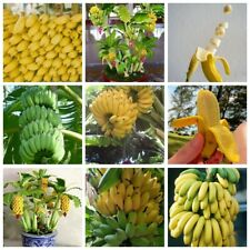 Fragrant Smell Bright Decoration Indoor for Planting Fruit Seeds 200 Pcs Bonsai Seed Banana Tree