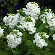 MATTHIOLA APRICOT EVENING OR NIGHT SCENTED STOCK FLOWER SEEDS ANNUAL 50