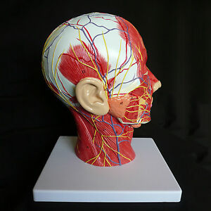 Median section of human head neck anatomical model medical image is loading median section of human head amp neck anatomical ccuart Image collections
